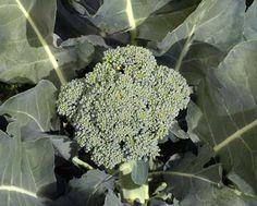 De Cicco Broccoli 2013 seeds