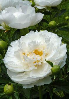 Luktpion, Paeonia x lactiflora 'Miss America' | Knopparna är blekrosa, blommorna bleknar till vitt. Mycket stora blommor med fin form och stark doft. Bladverket har fin höstfärg. Starka stjälkar, men vid regn och blåst kan stöd behövas. APS guldmedalj både 1956 och 1971. 90–100 cm hög. Mann – Van Steen, 1936.
