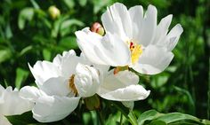White Peony Extract Powder  -  White Peony is a highly prized women's herbs used…