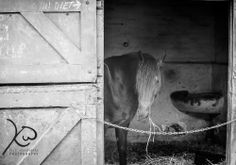 Monochrome horse in stable Business Portrait, Wildlife Photography, Lightroom, Monochrome, Horses, Animals, Animales, Monochrome Painting, Animaux