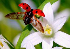 ladybug flying pictures-1