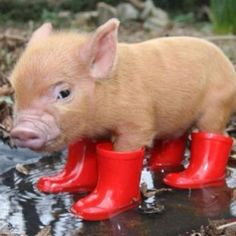 hahaha what are you doing now #cutepig #cute #lovely