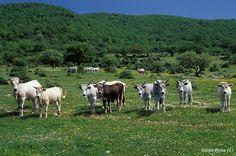 A Canale Monterano e dintorni la salubrità dell'aria, i verdi e rigogliosi prati dove gli animali pascolano in libertà garantiscano prodotti non solo buoni e genuini ma di alta qualità. http://www.canaleedintorni.com/wordpress/la-carne/