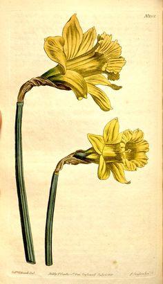 v.31-32=no.1237-1328 (1810) - Curtis's botanical magazine. - Biodiversity Heritage Library Narcissus