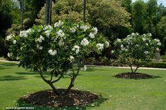 Plumeria obtusa  PLU obtPlumeria obtusaEvergreen Frangipani