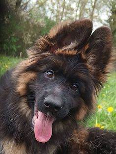 New Ideas Funny Dogs Pictures Puppies German Shepherds