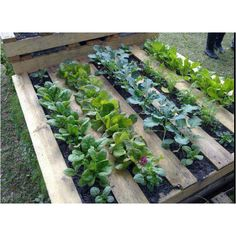 Use a pallet for herbs or lettuce