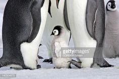 Antarctic, Antarctic Peninsula, Snow Hill island, emperor penguin , adult and young baby