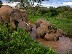 A parade of elephants, in Kenya
