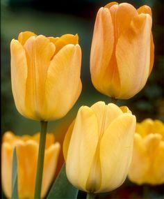 Tulip Daydream - Giant Darwin Hybrid Tulips - Tulips - Fall 2014 Flower Bulbs