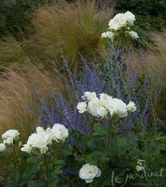 white Moondance rose in one of the borders. Billowing fountains of shimmering Mexican feather grass (Nassella tenuissima syn. Stipa tenuissima) were swaying gently in the early morning breeze and a haze of blue Russian sage (Perovskia atriplicifolia)
