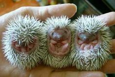 baby hedgehog or porcupine cannot tell but they are cute Cute Creatures, Beautiful Creatures, Animals Beautiful, Cute Baby Animals, Animals And Pets, Funny Animals, Animal Babies, Strange Animals, Unusual Animals