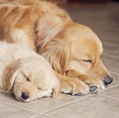 Golden Retrievers enjoying a snooze