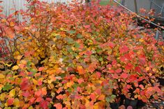 list of ornamental shrubs with pictures