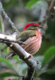 Machaeropterus regulus / Saltarín rayado / Striped Manakin (male), San Rafael, Antioquia, Colombia | Flickr - © Félix Uribe