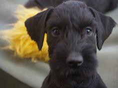 schnauzer puppy!
