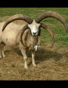 Check out this item in my Etsy shop https://www.etsy.com/listing/265147047/goat-skull-baphomet-devil-horns-satanic
