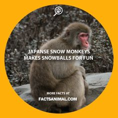 snow-monkey-snow-ball