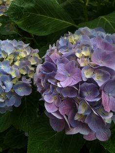 hydrangea-one of my all time favs - we have trouble keeping any pink in our soil -but the blues/purples are lovely