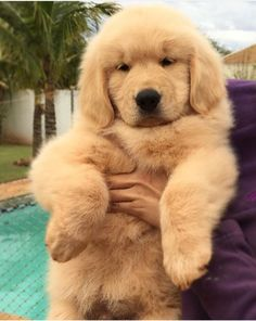 "Determine even more info on ""golden retriever pup"". Super Cute Puppies, Baby Animals Super Cute, Cute Baby Dogs, Cute Little Puppies, Cute Dogs And Puppies, Cute Little Animals, Cute Funny Animals, Funny Dogs, Doggies"
