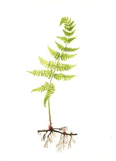 Fern IV  - Original Watercolor painting 8x11 inches. $19.60, via Etsy.