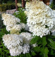 Hydrangea paniculata 'Phantom' Types Of Soil, Types Of Plants, Spring Colors, Spring Flowers, Beautiful Gardens, Beautiful Flowers, Hydrangea Paniculata, Trees And Shrubs, Backyard Landscaping