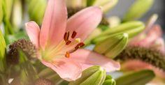 KW 32 langstielig: SWEET LILY 10 Lilien und 10 Stiele Hirse für Ihre Bodenvase