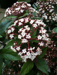 Viburnum tinus (Durillo)