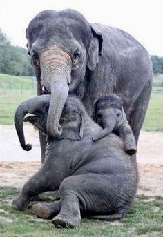Elephant Family, so cute, animals Cute Baby Animals, Animals And Pets, Funny Animals, Animals And Their Babies, Wild Animals, Funny Pets, Nature Animals, Elephant Family, Elephant Love