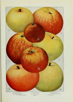 "Apples (1911):  1)Early Harvest  2)Gravenstein  3)Red June  4)Streaked Pippin  5)Newtown Pippin  6)Lady Sweet   7)Maiden Blush  8)Fall Pippin | From ""The Grocers Encyclopedia"" compiled by Artemis Ward 