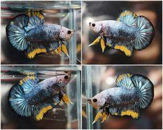 Marbled Smoky Blue Yellow STPK (Startail Plakat)
