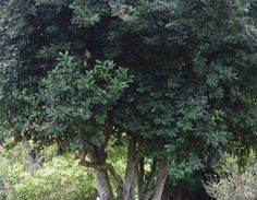 Trade Winds Fruit - Laurus nobilis - Bay Leaf, $2.00 (http://www.tradewindsfruit.com/laurus-nobilis-bay-leaf-seeds)