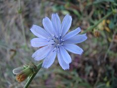 Chicory - Para quem sente-se possessivo , apegado, carente, busca o desapego por meio do amor sem obter nada em troca.