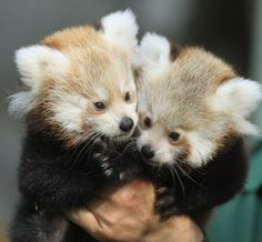 Exhibit E: Red Pandas need your help!