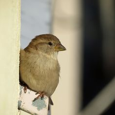 House sparrow in the city. https://www.flickr.com/photos/tietoukka/33289473312/