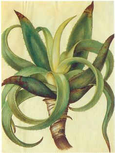 "Aloe vera from ""Gottorfer Codex"".   The Gottorfer Codex is a work in four volumes commissioned by Frederick III, Duke of Holstein-Gottorp between 1649 and 1659. The 365 illustrated pages and 1200 plants in gouache on parchment were made by Hans Simon Holtzbecker from Hamburg. Flowers were sent to Holtzbecker, who worked in both Schleswig and Holstein."