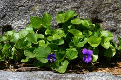 """""""The violets in the mountains have broken the rocks.""""   -Tennessee Williams…"""