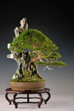 The ancient Japanese art of Bonsai creates a miniature version of a fully grown tree through careful potting, pruning and training. Even if you& not zen enough to labour over your own Bonsai,. Indoor Bonsai, Bonsai Plants, Bonsai Garden, Bonsai Trees, Indoor Plants, Ikebana, Plantas Bonsai, Mini Plantas, Ancient Japanese Art