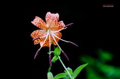 Inspiration of wild lily