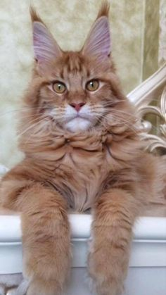 Oh my, the Maine Coon