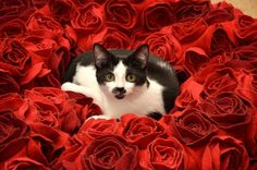 Cat, Flowers, Roses hd wallpaper by lise Cat Run, Angels In Heaven, Heavenly Angels, Cat Flowers, Mundo Animal, Rose Wallpaper, Cat Sleeping, Computer Wallpaper, Corgi