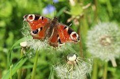 Blossom, Bloom, Dandelion, Butterfly