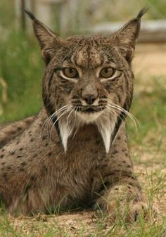 Iberian lynx (Lynx pardinus), a critically endangered species of felid native to the Iberian Peninsula in Southern Europe.