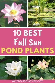 Water Garden Plants, Small Water Gardens, Indoor Water Garden, Backyard Water Feature, Pond Plants, Aquatic Plants, Flowering Plants, Outdoor Ponds, Ponds Backyard