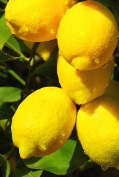 Fidanistanbul Limon Fidanı http://www.fidanistanbul.com/?shop=urun&id=62 Fidan Satışı, Fide Satışı, internetten Fidan Siparişi, Bodur Aşılı Sertifikalı Meyve Fidanı Süs Bitkileri