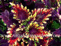 Types of Houseplant Bugs and Methods to Check Their Infestation Coleus Blairs Witch - Rosy Dawn Gardens Shade Garden, Garden Plants, House Plants, Colorful Plants, Cool Plants, Exotic Flowers, Beautiful Flowers, Beautiful Things, Outdoor Plants