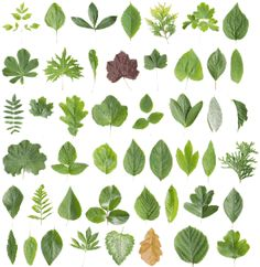 Identifying leaves and roots | Leafs | Pinterest | Shape, Leaves ...