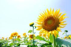 ひまわり*Sunflower