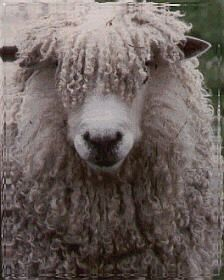 english leicester sheep