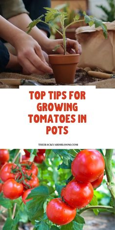 Growing Vegetables In Pots, Tips For Growing Tomatoes, Growing Tomatoes In Containers, Container Gardening Vegetables, Caring For Tomato Plants, How To Plant Vegetables, Fall Planting Vegetables, How To Plant Tomatoes, Flowers In Containers